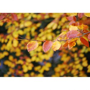 Autumn Leaves Photo Poster. NK WORLD