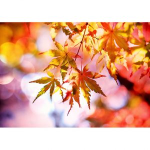 Autumn Maple Leaves Photo Poster. NK WORLD