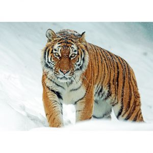 Tiger Photo Poster. NK WORLD