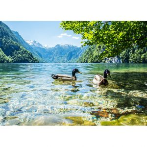 Ducks in a Lake Photo Poster. NK WORLD